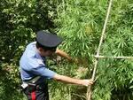 cannabispiantagione