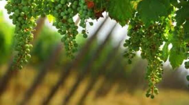 franciacorta uve