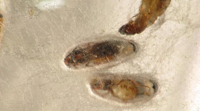 larve lepidotteri