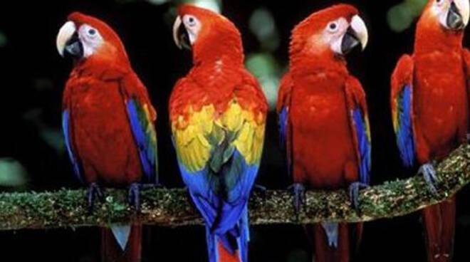 pappagalli