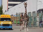 imola-giraffa-scappata