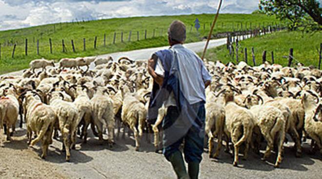 pastore-gregge
