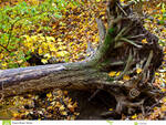 http://www.dreamstime.com/royalty-free-stock-images-uprooted-tree-image11547589