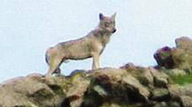 lupo-sul-mortirolo