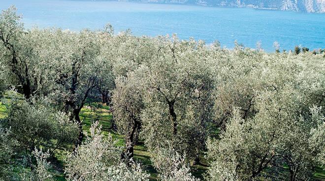 uliveto lago di Garda