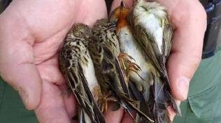 uccellini-bracconaggio