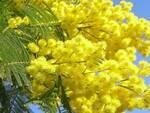 mimosa-festa-donna-8-marzo