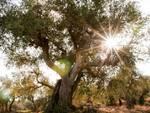 olivo-tramonto