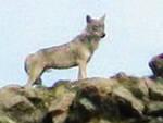 lupi-valvestino-conferma-fototrappole