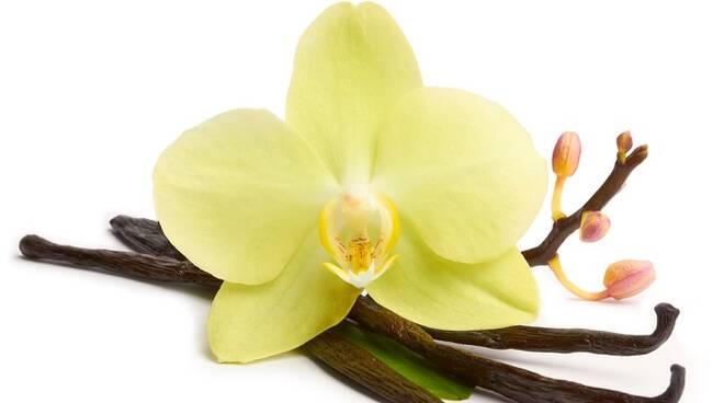vaniglia-fiore