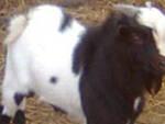 capra-roggia-chiari