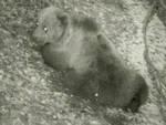 orso-sbrana-pecore-valcamonica