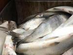 manerba-coregoni-pescatori-frodo
