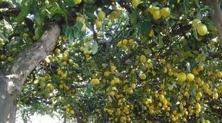 sentiero-dei-limoni-limoneto