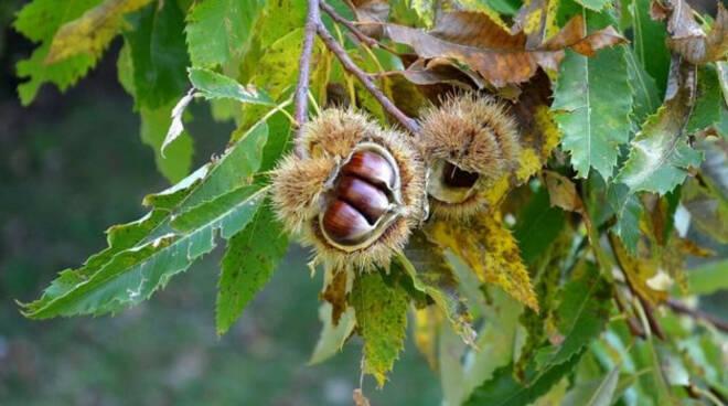 Castagni-cinipide-sellero-valcamonica