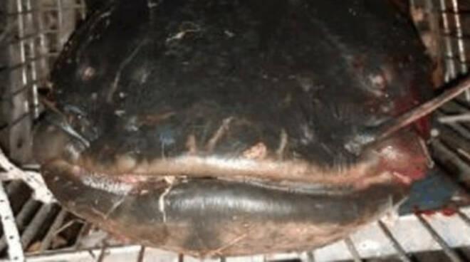 pisogne-cattura-pesce-siluro-mostro