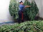 seniga-serra-marijuana-cascina