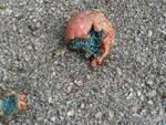 losine veleno carcassa animale