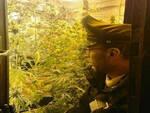 Lozio serra venti piante marijuana casa arrestato