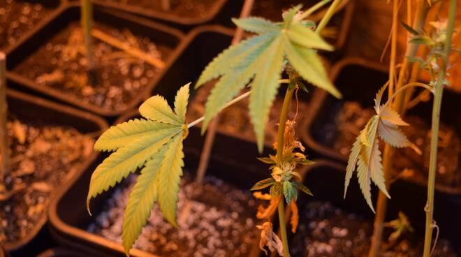marijuana brescia