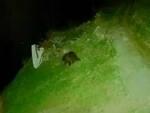 Orsi in Valcamonica immagini video della Polizia provinciale