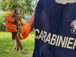 Travagliato tenta di vendere un falco maxi sanzione