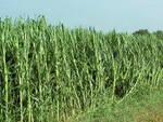 Volongo Cr 54enne stroncato mentre lavora nei campi di mais