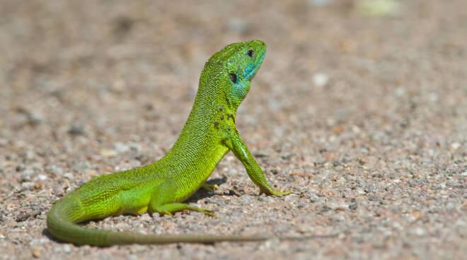 Brescia forestali recuperano iguana nel cortile asilo Bettinzoli
