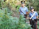 Erbusco marijuana nei boschi del Montorfano Quattro ragazzi denunciati