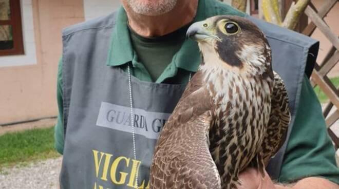falco pellegrino ferito da bracconieri