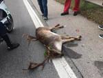 Brescia daino morto investito da auto in tangenziale