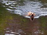 Gavardo un cane finisce nel Chiese recuperato dai vigili del fuoco