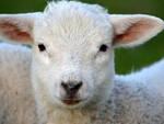 Pralboino e Montichiari trovate carcasse di agnelli abbandonati