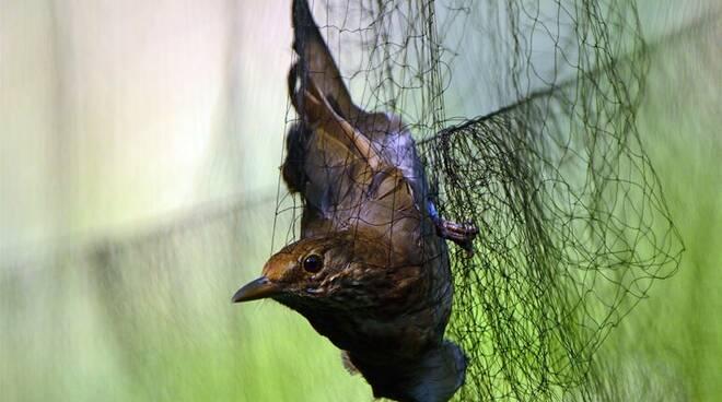 reti uccellagione bracconieri bracconaggio