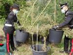 San Felice marijuana illegale vicino alla coltivazione di quella regolare