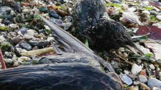 Iseo centinaia di uccelli morti per un focolaio di salmonella