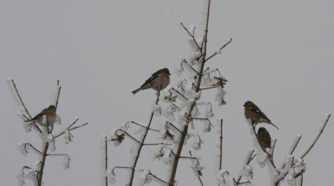 uccelli fringuelli peppole