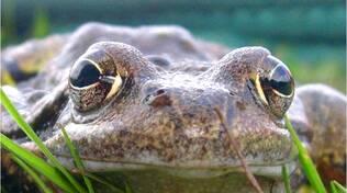 Gli anfibi del monte Guglielmo in un articolo su Biological Conservation