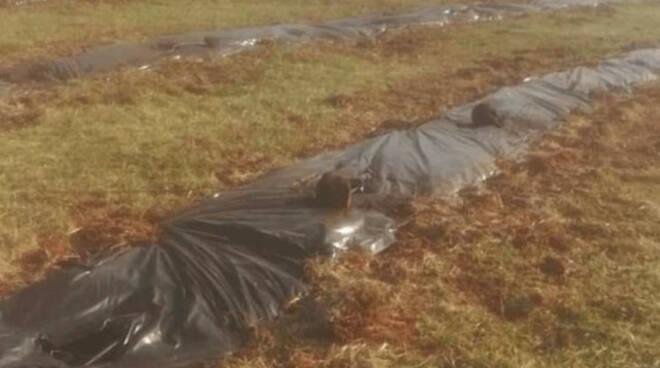 Castenedolo vandali ex cava Italcementi sradicate centinaia di piante