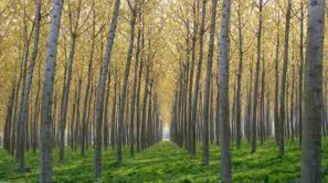 pioppeto alberi
