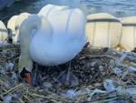 Desenzano sparite le uova deposte dai cigni sul lungolago Feltrinelli