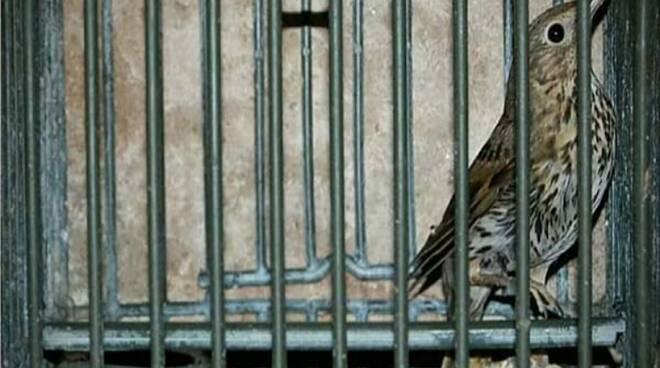 uccelli gabbia caccia