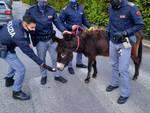 Brescia Polizia recupera un asino che vaga in via Fiorentini