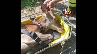 cervo salvato dai vigili del fuoco
