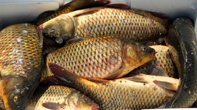 Iseo catturano carpe in periodo di divieto denunciati due pescatori