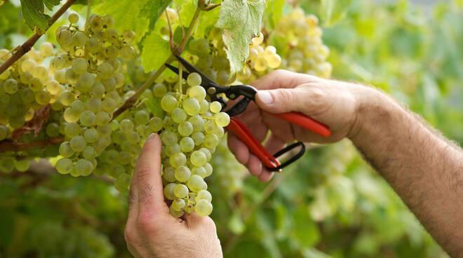 Vendemmia uva bianca