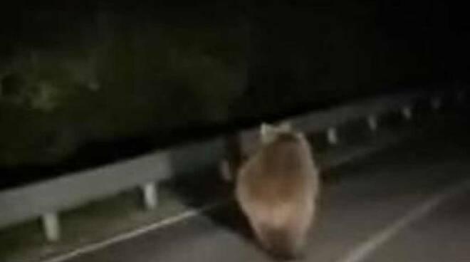 orso cimbergo paspardo