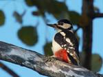 uccello uccelli picchio rosso maggiore